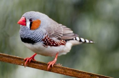 bird profile zebra finch