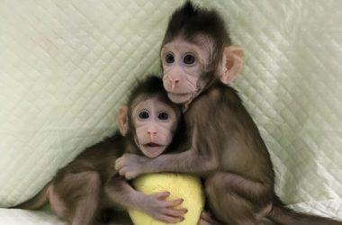 πρώτοι κλώνοι μαϊμούδων