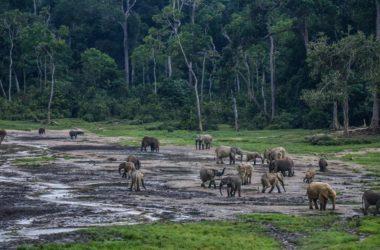 Αφρικανικοί ελέφαντες των δασών